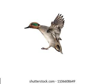 Teal, Anas crecca, single male in flight, Gloucestershire, January 2018