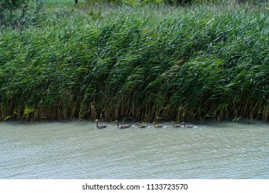 Teal duck family swimming in single line at the Neusiedl Lake, Rust, Austria.