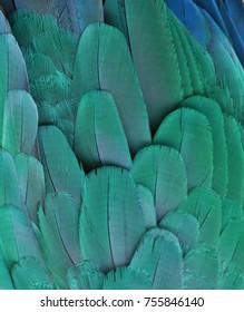 Teal feathers of a Macaw Parrot