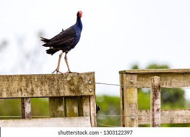 Teal Swamp Hen, New Zealand Pukeko