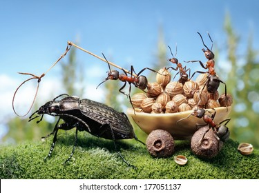 team of ants harnessing the bug, ant tales
