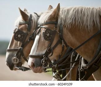 Team of Belgian heavy horses in harness