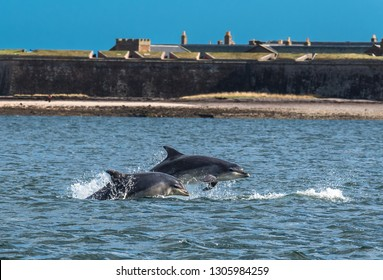 Team Of Bottlenose Dolphin Jumping In The Moray Firth In Front Of Fort George Near Inverness In Scotland