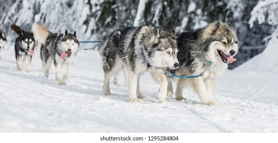 A team of four husky sled dogs running on a snowy wilderness road. Sledding with husky dogs in winter czech countryside. Husky dogs in a team in winter landscape.