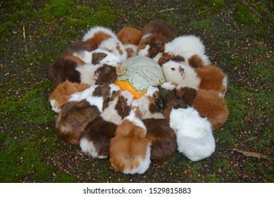 A team of guinea pigs eat a pumpkin