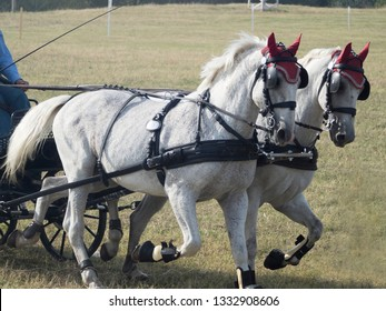 Team of horses of the Lipizzaner breed at an equestrian event