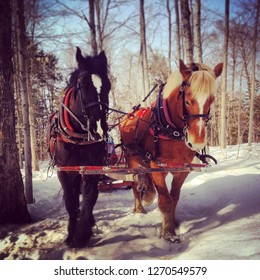 Team of horses pull maple sap cart through snowy Vermont forest