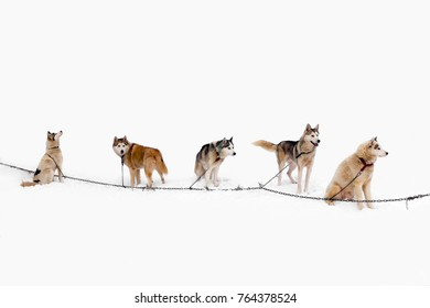 Team of Husky dogs. Northern sled dogs are used as transportation. A sturdy and draft sled Husky.
