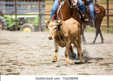 Team roping heading and heeling rope a steer at a rodeo