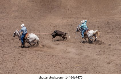 Team Roping at a Rodeo. A calf is between two riders on white horses. The rider on the left has lassoed the calf's horns. The other rider is swinging a blue lasso.
