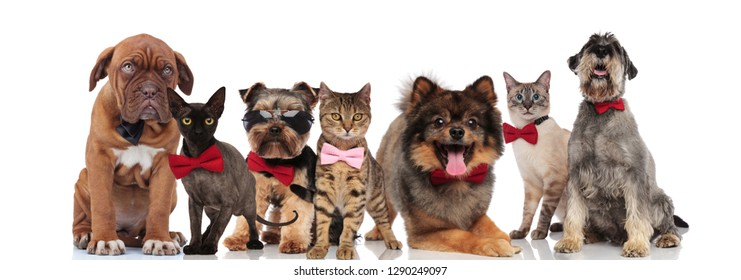 team of seven adorable pets wearing bowties and sunglasses standing, sitting and lying on white background