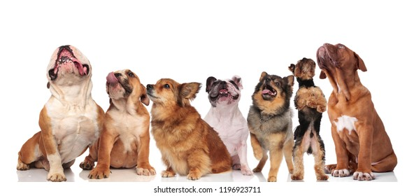 team of seven cute dogs panting and looking up while standing and sitting on white background