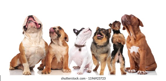 team of six cute dogs of different breeds looking up while standing and sitting on white background