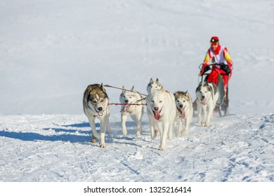 A team of six husky sled dogs running on a snowy road