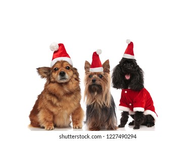 team of three happy dogs wearing santa claus costume sitting on white background