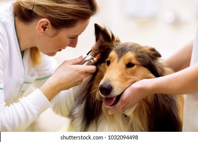 Team of veterinarian check sick ear to sick dog with otoscope