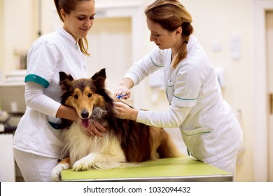 Team of veterinarian puts chip with dog's information to his neck