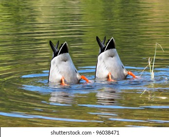 Team Work, ducks in cooperation.