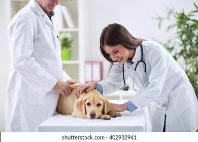 Teamwork veterinarian examining the sick dog