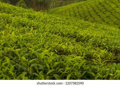 Teaplants in Uganda