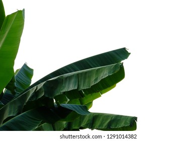 Tearing banana leaves on white isolated background for green foliage backdrop