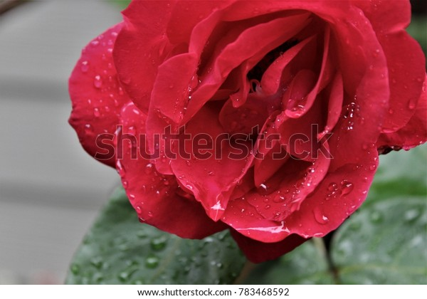 Tears on the Rose