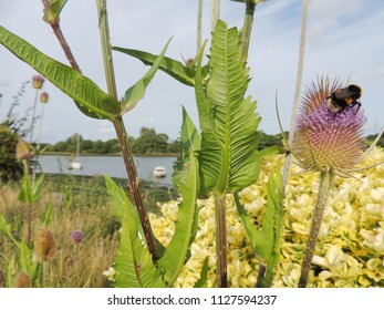 Teasel growing along side the River Medina on the Isle of Wight, UK.