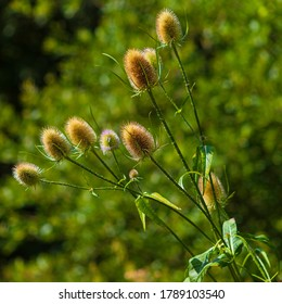 Teasel heads with green background