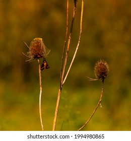 Teasel and Moth with blurry background