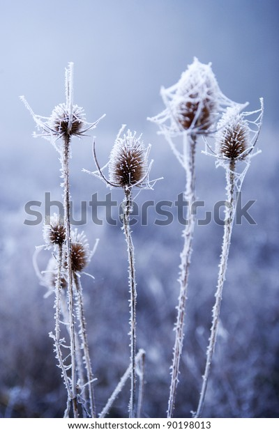 Teasel seed-head covered in thick frost.