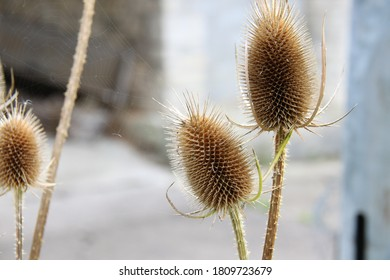 Teasels or thistle with spider's web