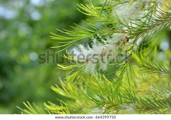 Tea-Tree (Narrow-leaved Paperbark)