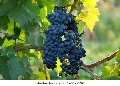 "Technical grade of grapes ""Rubin Golodrygi"""