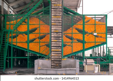 Technological process at the orange cannery. Mass of ripe citrus fruits oranges in metal container and working conveyor