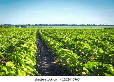 technological strip between rows of young clean from weeds and sunflower diseases. Clear field