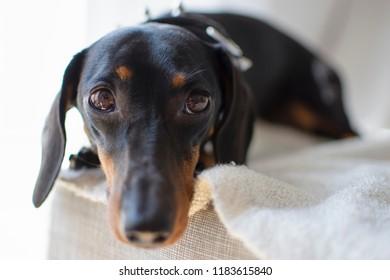 teckel, dachshund with short hair. Close-ups