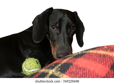 Teckel dog playing with a ball