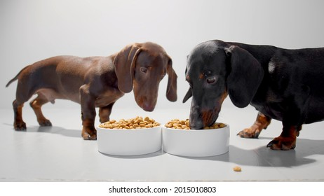 Teckel or weiner dogs with dry food in two white containers. Black puppy eating and enjoying the meal and chocolate brown dachshund watching. Studio white background high quality photo.