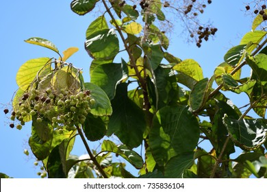 Tectona grandis (Teak)  ; Showing a colorful long bouquet on high tree, with flowering and dry seeds, At the apexes. Soaring over green leaves to the blue sky. natural sunlight