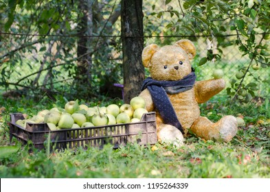 Teddy bear hold an apple and sits near a chest full of harvested fruits under the tree - funny European apple harvest scene