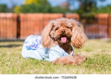 teddy dog on the grass