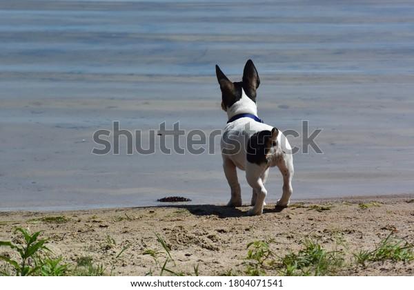 teddy-roosevelt-rat-terrier-lake-600w-18