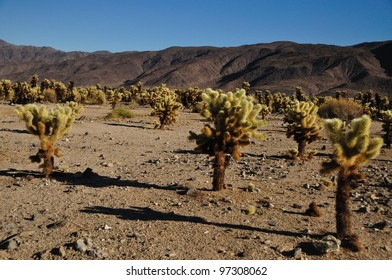 Teddy-bear Cactus in the Californian Desert
