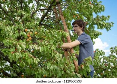 Teen boy harvesting ripe apricots in homegrown orchard