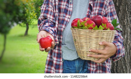 Teenage boy picking red apple at the tree put in the basket at on the grass in the concept of harvesting agricultural products.