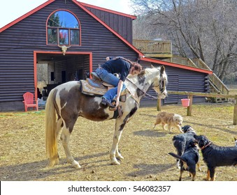 A teenage girl at a barn getting ready to ride her horse, the dogs are watching.