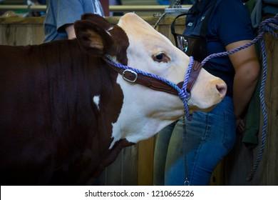 Grooming Cow Images, Stock Photos & Vectors | Shutterstock