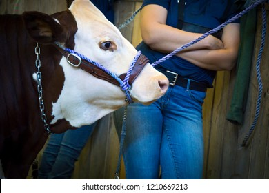 A teenage girl and her dairy cow are waiting for their turn in the youth cattle show ring.