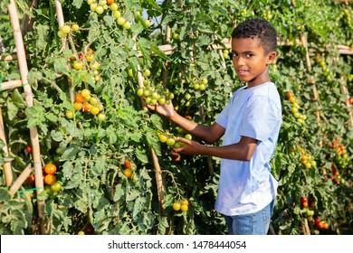 Teenager boy helps harvesting grapes on vineyard
