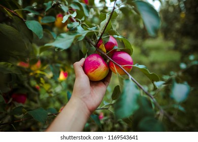 Teenager hand picking apple